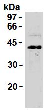 AM26445AF-N - Synaptophysin / SYP