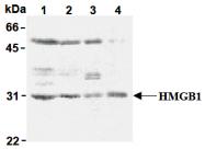 AM26447AF-N - HMGB1