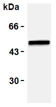 AM26459AF-N - Vimentin