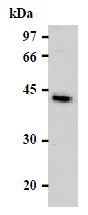 AM26481AF-N - CD98 / SLC3A2