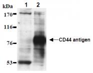AM26486AF-N - CD44