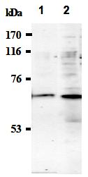 AM26493AF-N - Synaptotagmin-1