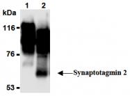 AM26494AF-N - Synaptotagmin-2