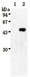AM26497AF-N - Sialidase-3