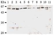 AM26501AF-N - KPNA3 / Importin alpha-3