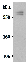 AM26508AF-N - Stabilin 1 / STAB1