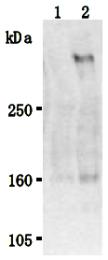 AM26509AF-N - Stabilin 2 / STAB2