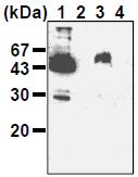 AM26513AF-N - Podoplanin
