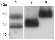 AM26517AF-N - Lactadherin