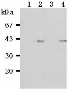 AM26519AF-N - CD268 / BAFFR