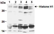AM26524AF-N - Histone H1.0
