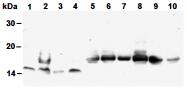 AM26525AF-N - Histone H4