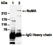 AM26526AF-N - NuMA