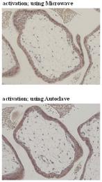 AM26531AF-N - CD274 / PDL1