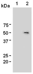 AM26534AF-N - FOXP3