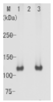 AM26542AF-S - Retinoblastoma-associated protein / RB1