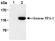 AM26544AF-N - SIPA1 / SPA1