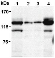 AM26545AF-N - SIPA1 / SPA1