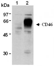 AM26547AF-N - CD46 / MCP