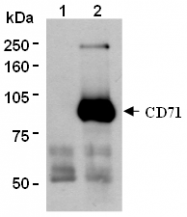 AM26552AF-N - CD71 / TFRC