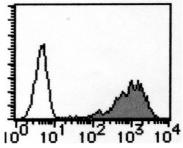 AM26553AF-N - CD98 / SLC3A2