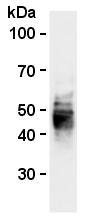 AM26556AF-N - CD63