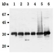 AM26569AF-N - 14-3-3 protein gamma