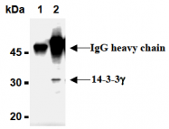 AM26569AF-N - 14-3-3 protein gamma