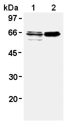 AM26579AF-N - GAD1 / GAD67