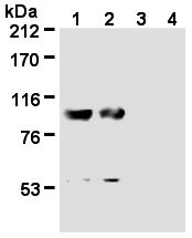 AM26580AF-N - Nucleolin