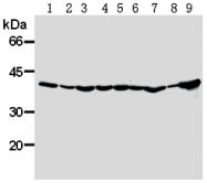 AM26593AF-N - DNAJB1 / HSP40