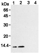 AM26612AF-N - Thioredoxin / TRX1