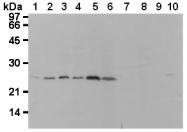 AM26613AF-N - Flavin reductase