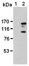 AM26623AF-N - Podocalyxin / PODXL