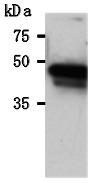 AM26627AF-N - Maltose Binding Protein Tag / MBP-Tag
