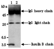 AM26629AF-N - Insulin