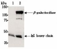 AM26630AF-N - Beta-galactosidase tag