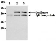 AM26631AF-N - Luciferase