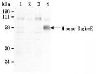 AM26632AF-N - CD170 / SIGLEC5