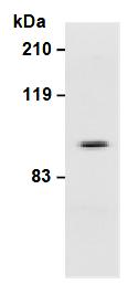 AM26637AF-N - CD61 / ITGB3