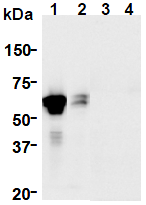 AM26644AF-N - GFRA1 / GDNFR-alpha