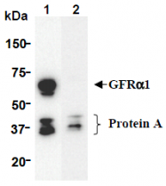 AM26645AF-N - GFRA1 / GDNFR-alpha