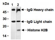 AM26683AF-N - Histone H2B