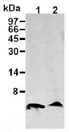 AM26686AF-N - Amyloid beta