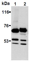 AM26691AF-N - Synaptotagmin 1 + 2