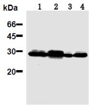 AM26692AF-N - 14-3-3 protein pan