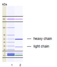 AM26749PU-N - Erythropoietin receptor