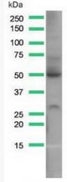 AM32430PU-N - GLUT1 / SLC2A1