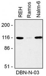AM32471PU-N - Drebrin