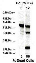 AM32506PU-N - Caspase-2